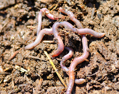 Let Worms Till Your Garden Beds Finegardening