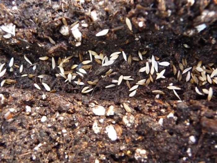 Sowing Seeds For Salad In Flats Finegardening