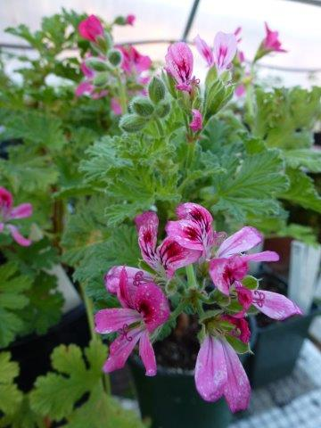 Scented Geraniums Pelargonium Species Finegardening