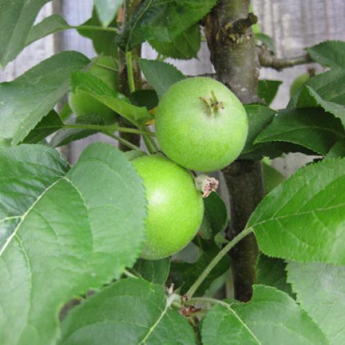 Columnar Apple Trees For Suburban Yards