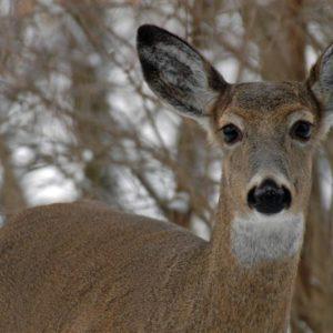 Size #929 Deer Doe Buck Decal Sticker Choose Color