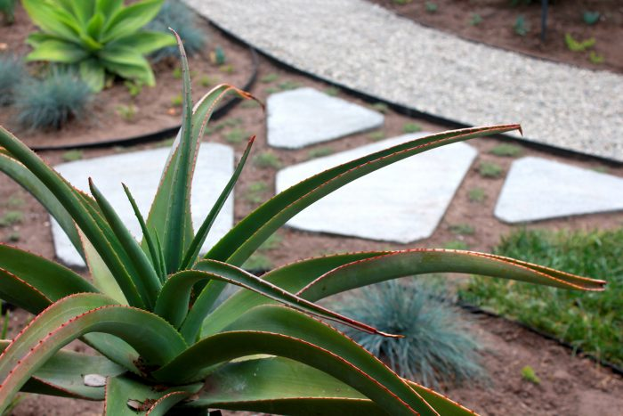 Desert plants in a garden with white triangular stone pavers