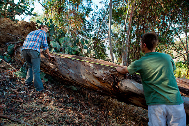 Salvaging a eucalyptus log