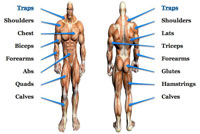 major muscle groups