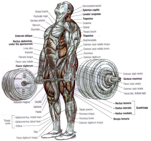 Muscles Used For The Deadlift