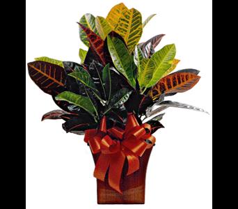Croton Plant Funeral Plants