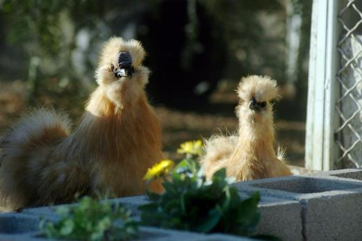 http://www.kizoa.com/Movie-Video-Slideshow-Maker/d100370137kP426794182o2l1/some-of-amber-waves-silkie-chicken-customers