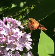 2021 Yard 10 Snowberry Clearwing Moth in Lilacs 25.52-1000