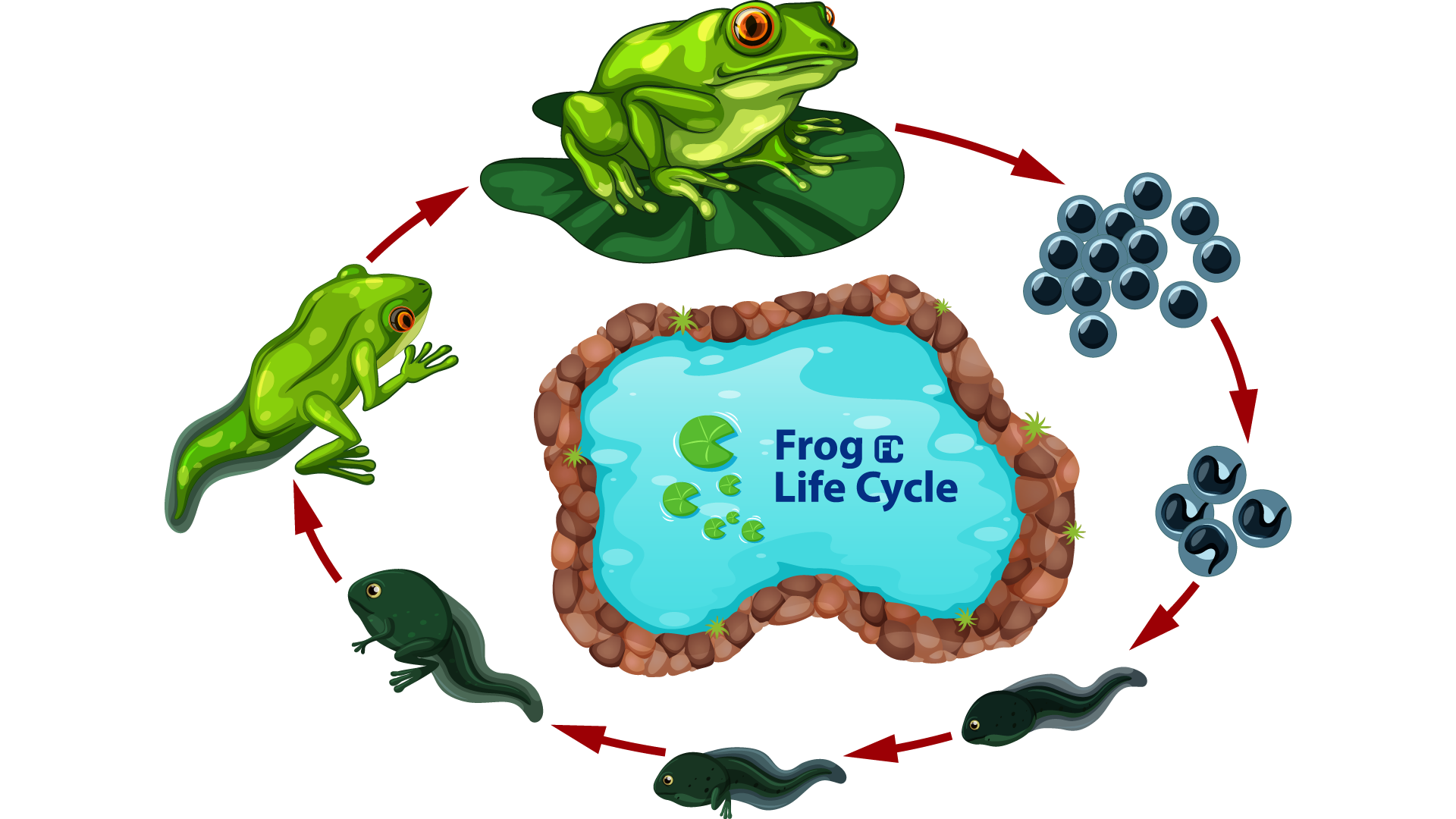 Frog-LifeCycle-Fllcasts
