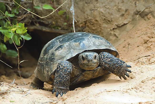 Wekiva Tortoise
