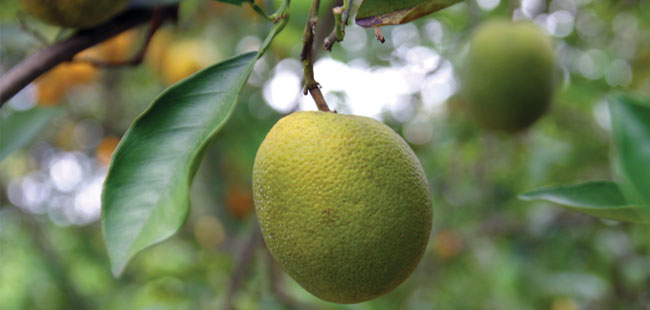 University of Florida awarded $10.5 million to work on citrus greening resistance or tolerance