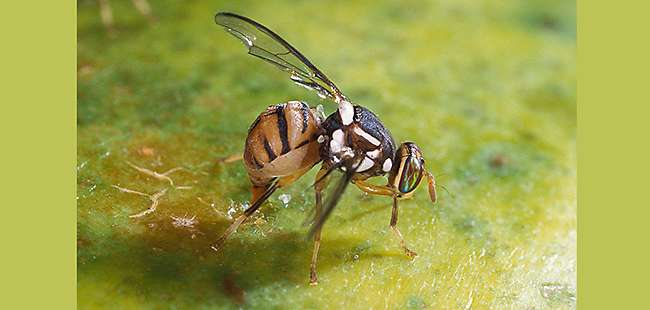 Oriental Fruit Fly Eradicated in Miami-Dade County