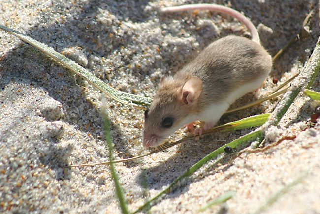The mouse that roared: Perdido Key and its tiny beach mouse