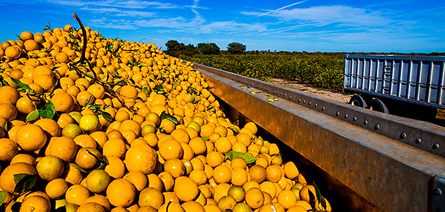 Florida orange production holds steady in December forecast