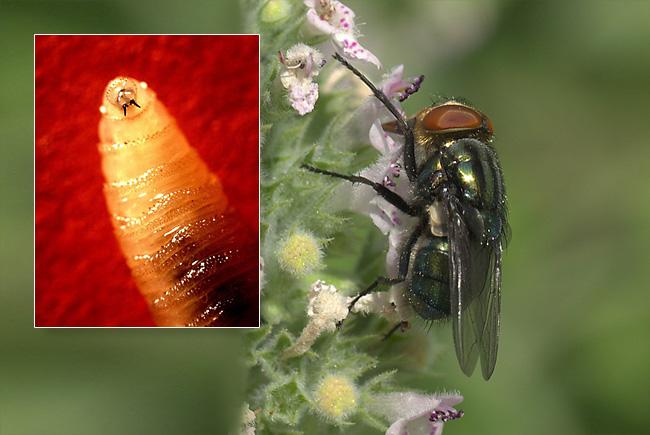 APHIS Confirms New World Screwworm in Miami-Dade County, Florida