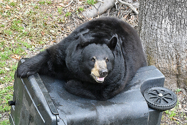 Florida bears and trash