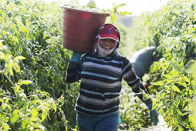 female tomato pickers