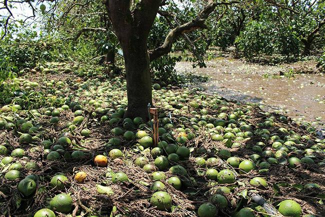 USDA lowers citrus estimate in Florida