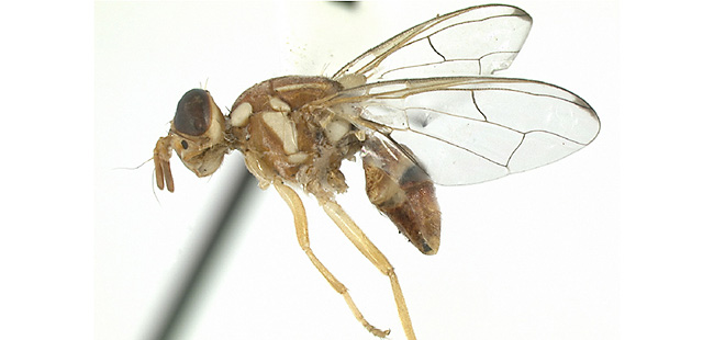 Guava Fruit Fly Images