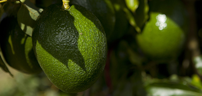 Effects of hurricane linger for Florida avocados