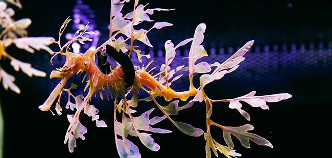 Florida Aquarium uses prosthetics to save rare leafy seadragons