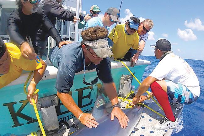 UM tagging sharks