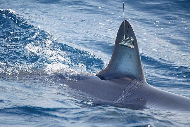 tagged shark