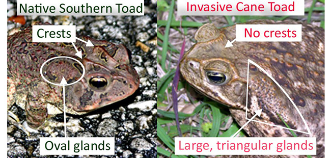 FWC: Learn to spot the differences between native southern toads and non-native invasive cane toads