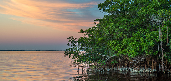 Mangroves Reduce Flood Damages During U.S. Hurricanes, Saving Billions of Dollars in Property Losses