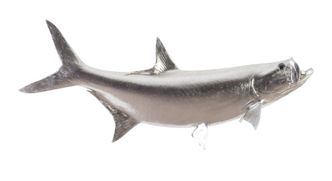 Image of Tarpon Fish in Silver Leaf