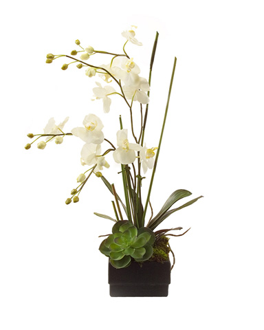 John Richard Collection - Phalaenopsis Orchid - JRB-2191