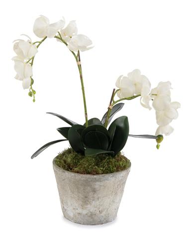 John Richard Collection - Garden Phalaenopsis - JRB-3501