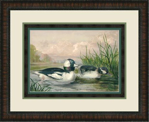 The Picture Source - Bufflehead Duck - P122D