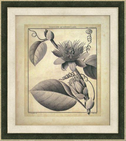 The Picture Source - Passiflora IV - S118A