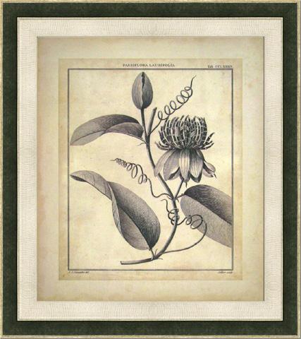 The Picture Source - Passiflora V - S118B