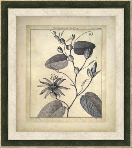 The Picture Source - Passiflora VI - S118C