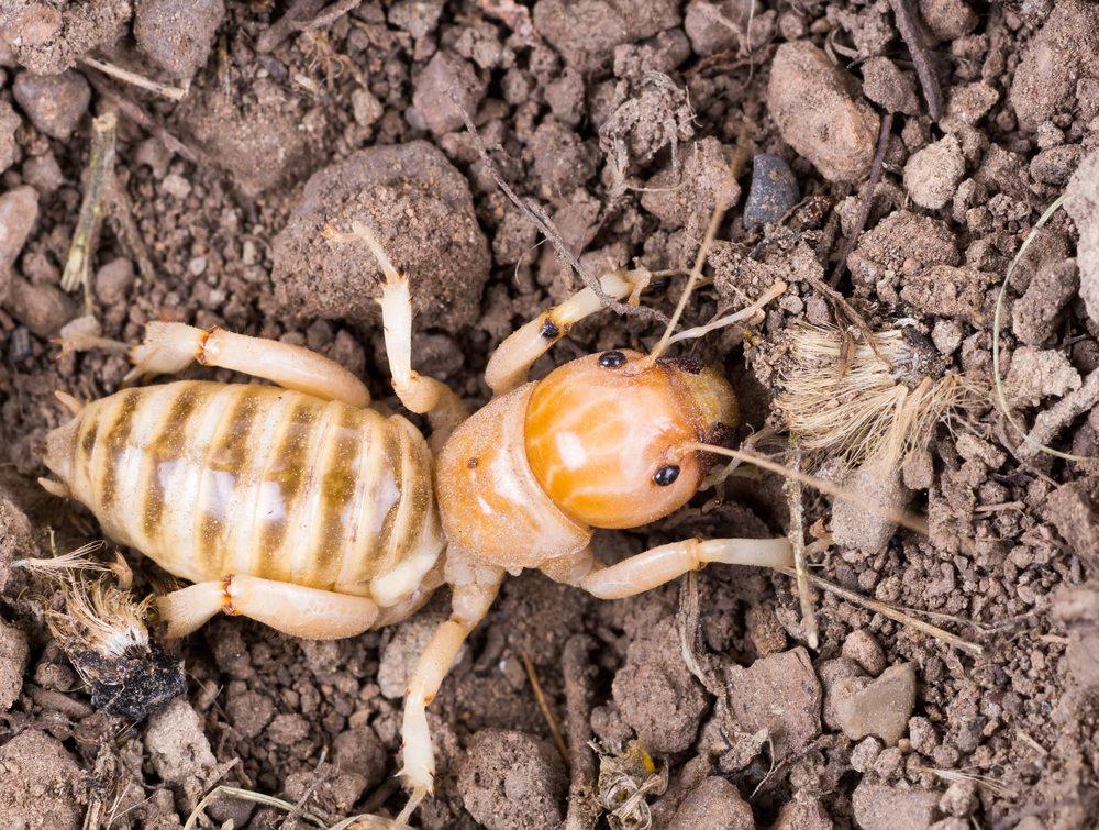 Jerusalem cricket potato bug