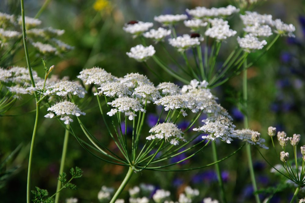 angelica cow parsley