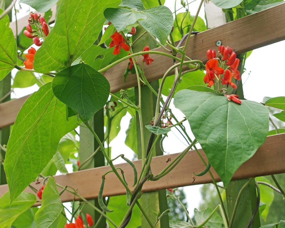 scarlet runner bean flower