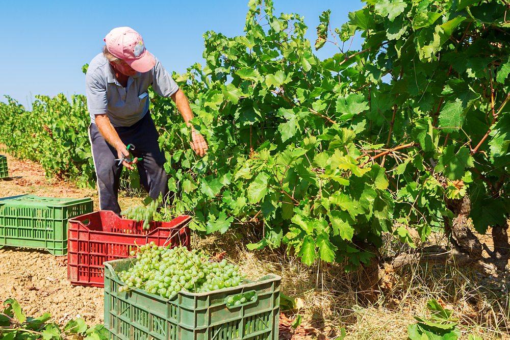 white wine vinyard