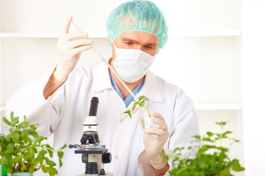 Scientist looking at GMO plants