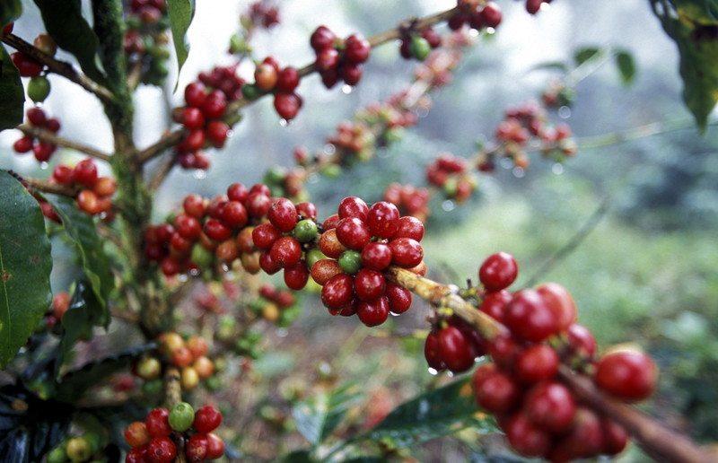 Latin America Honduras Coffee Plant