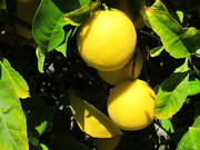 Meyer_lemon_tree0001