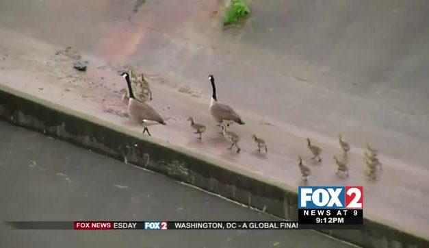 Actual 'Goose Chase' has a happy ending