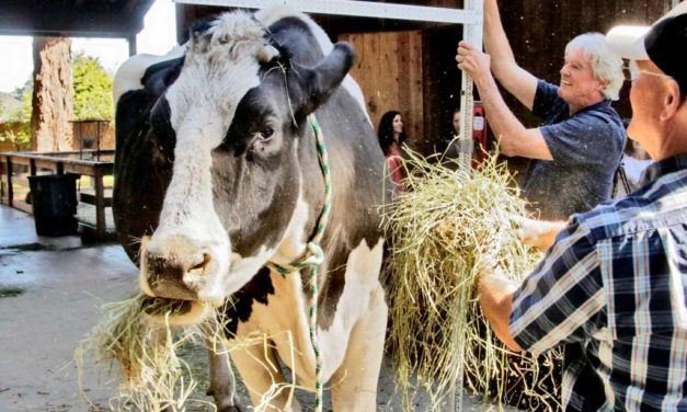 Holy cow! California steer vies for world's tallest bovine