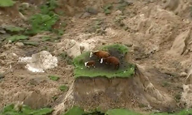 Nowhere to mooove: 3 cows stranded by New Zealand earthquake