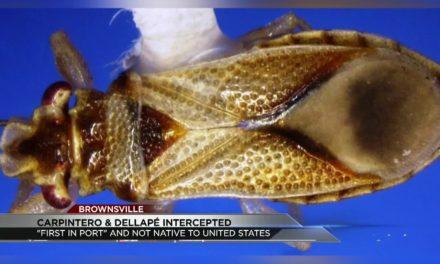 Carpintero & Dellapé Insect Intercepted in Brownsville
