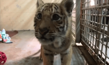Tiger Cub Rescued After Being Left In Duffel Bag