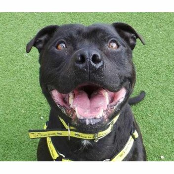 Free Neutering For Your Bull Breed This March at Dogs Trust