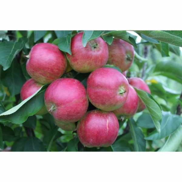 Get 1 of 28 Apple Trees